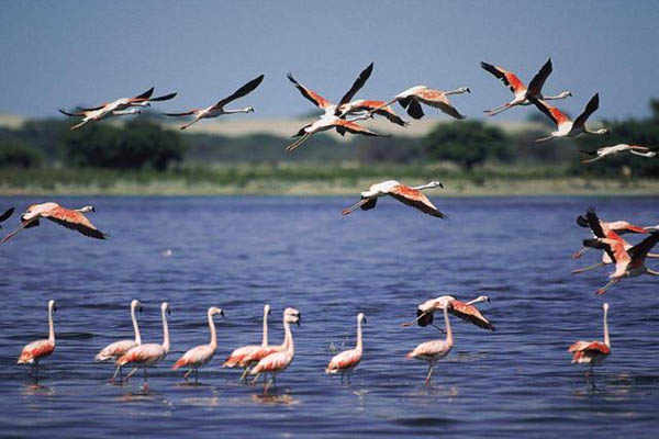 Paracas flamingos