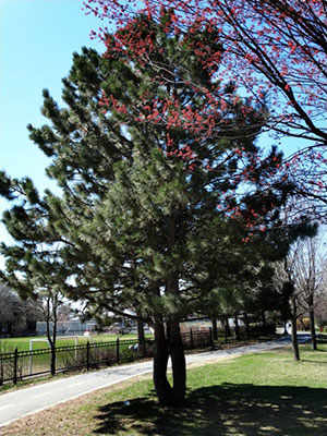 red pine westmountmag.ca