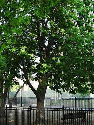 horse chestnut trees westmount park werstmountmag.ca