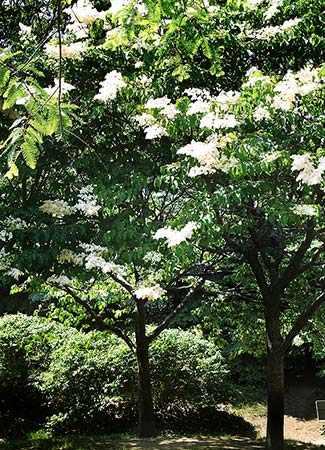 Japanese Lilac tree Westmountmag.ca