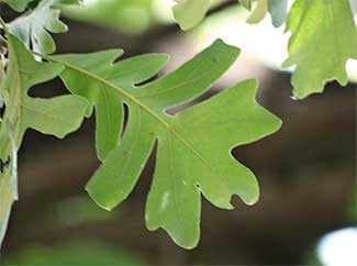 Oak leaf - photo Michael Walsh