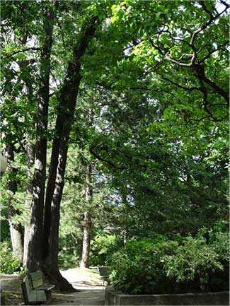 double trunk oak tree westmountmag.ca