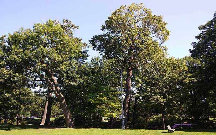 Oaks trees in Westmount Park - photo Andrew Burlone