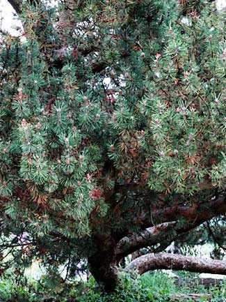 Austrian Black Pine WestmountMag.ca