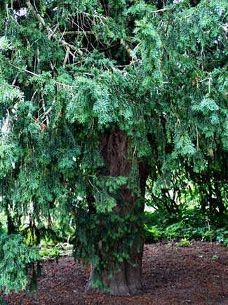 Bobart's Yew WestmountMag.ca