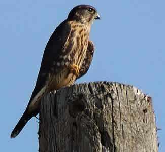Peregrine Falcon falaise St-Jacques WestmountMag.ca
