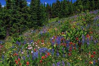 alpine flowers westmountmag.ca