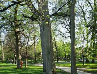 Westmount trees and their stories /6