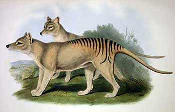 de-extinction Tasmanian Tiger WestmountMag.ca