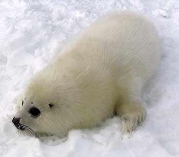 Harp Seal - WestmountMag.ca