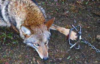 leghold trap coyote - WestmountMag.ca