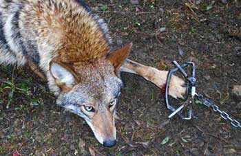 leghold trap coyote - WestmountMag.ca