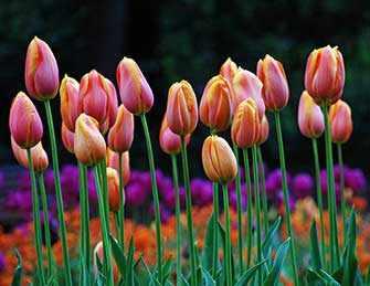 tulips - WestmountMag.ca