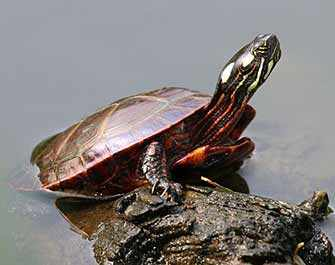Eastern Painted Turtle - WestmountMag.ca