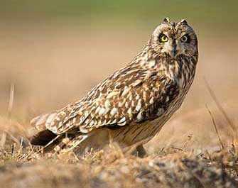 short eared owl - Westmountmag.ca