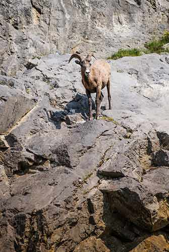 Mountain sheep - WestmountMag.ca