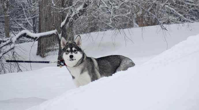 Husky in Westmount Park - WestmountMag.ca