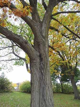 Oak tree KIng George Park - WestmountMag.ca