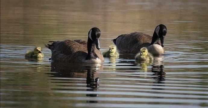 Bernaches / Canada Geese - WestmountMag.ca