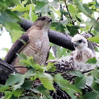 Mother Cooper's Hawk with nestling