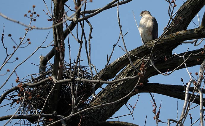 Cooper's Hawk by nest