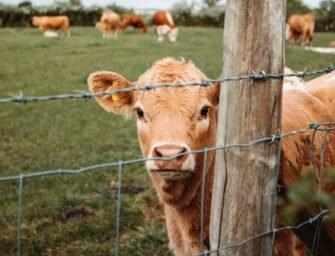 Critique de Sacred Cow <br>(versus Cowspiracy)