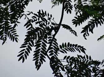 Gleditzia Tree - Westmountmag.ca