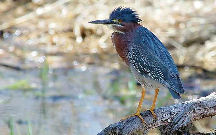 Green Heron - WestmountMag.ca
