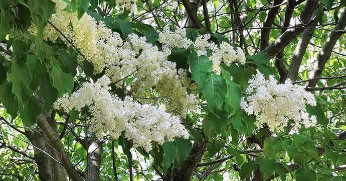 Japanese Lilac tree – Westmountmag.ca