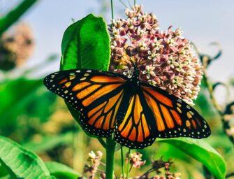 Protégeons le papillon monarque <br>et son habitat