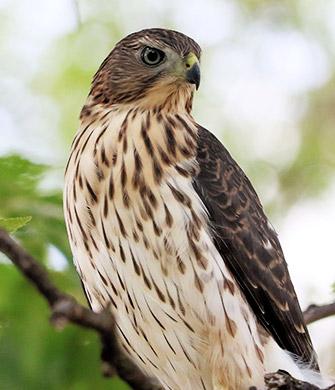 portrait of a young Cooper's Hawk