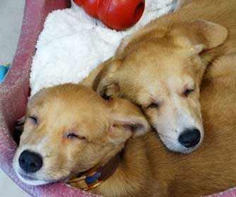 Potcake puppies - WestmountMa.ca
