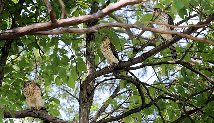 three young Cooper's Hawks