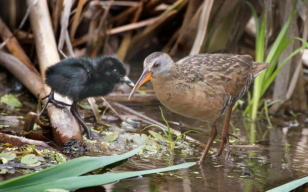 Virginia Rail and downy chick - Westmountmag.ca