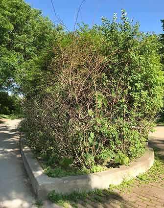 Westmount Park overgrown bushes -WestmountMag.ca