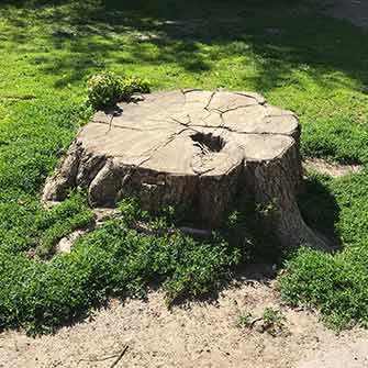 Westmount Park many stumps - WestmountMag.ca