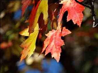 Érables / Maple trees - WestmountMag.ca