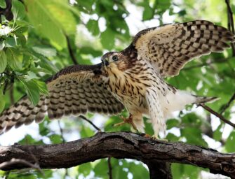 A happy ending for a <br>family of Cooper's Hawks